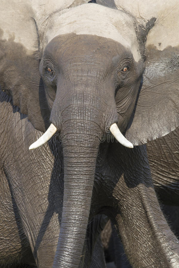 Intense eyes of charging bull elephant stock photography