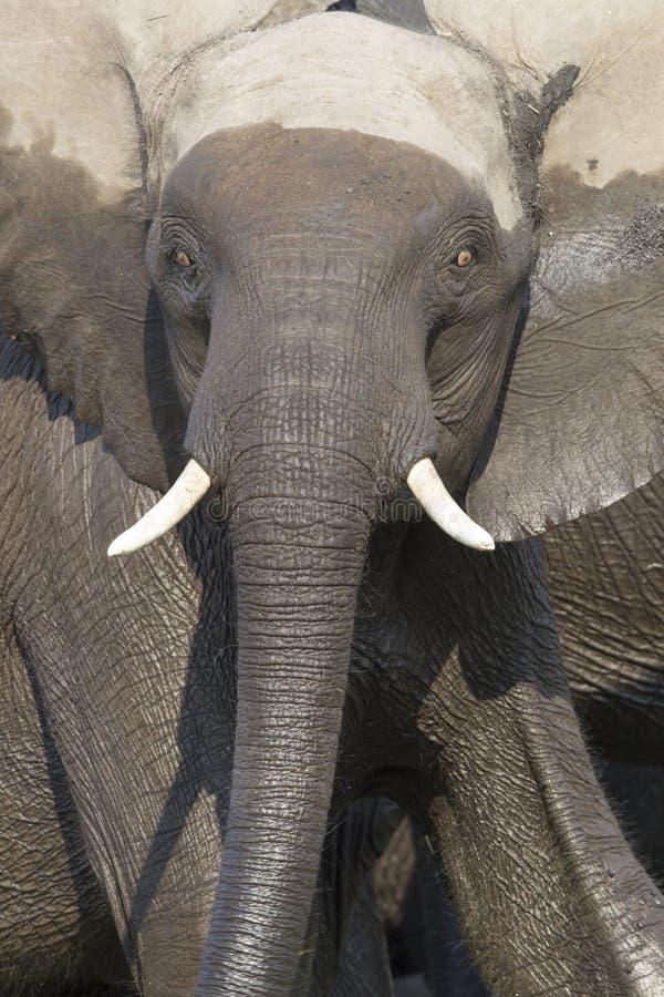 Free Intense Eyes Of Charging Bull Elephant Stock Photography - 47024192