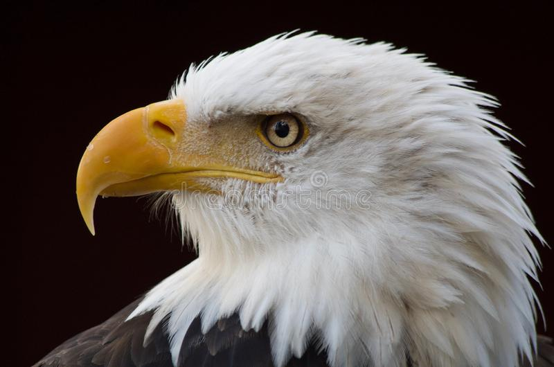 Intense look of a bald eagle as it searches for prey. Close up shot shows details of the bird`s feathers and sharp yellow beak royalty free stock photography