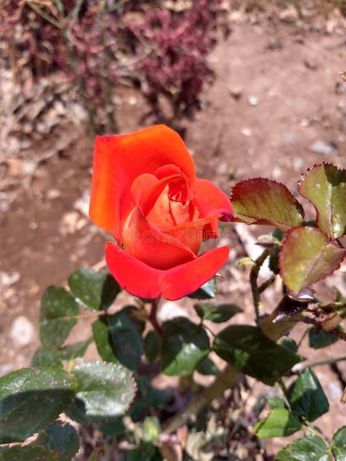 Intense oranje nam bloemblaadje toe royalty-vrije stock afbeelding