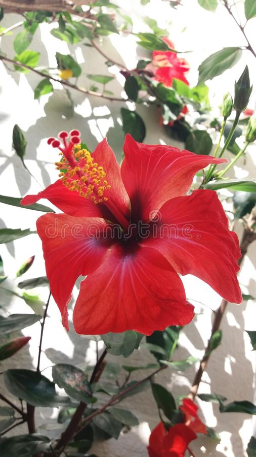 Red flower with yellow pistils. Intense red flower with yellow pistils with green leaves on white background stock photography