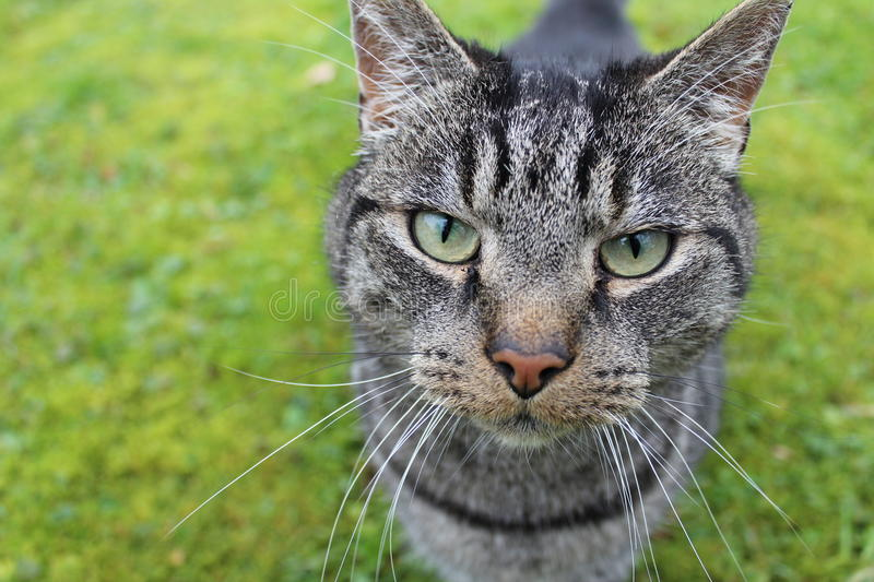 Intense stare of a stray cat royalty free stock photos