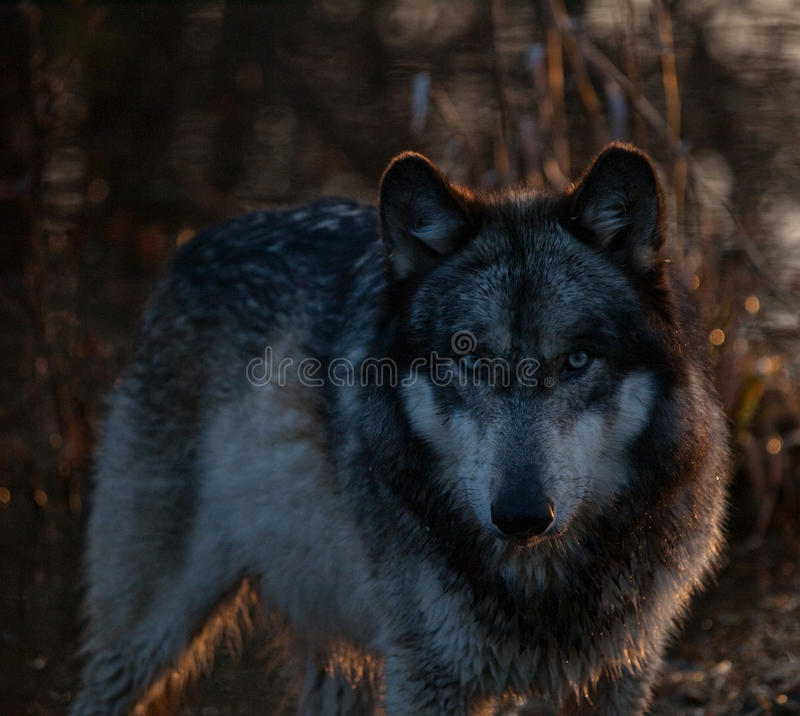 Intense Wolf in the Shadows stock photos