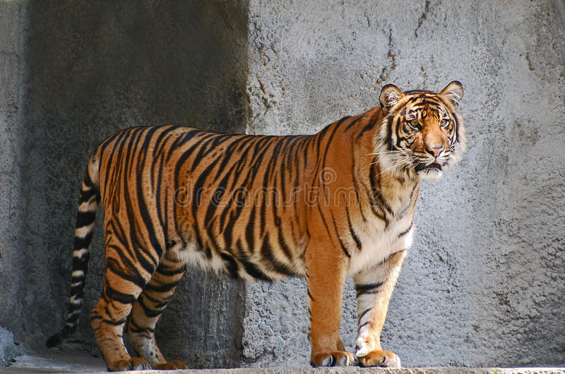 Intensely watching tiger. Black striped Sumatran tiger intensely watching something in the distance royalty free stock photography