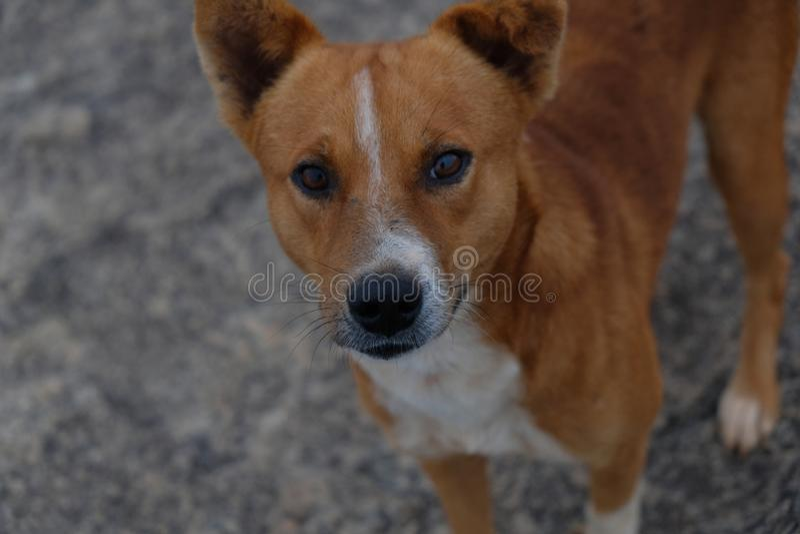 Intensiv blick av en indisk hund royaltyfria bilder
