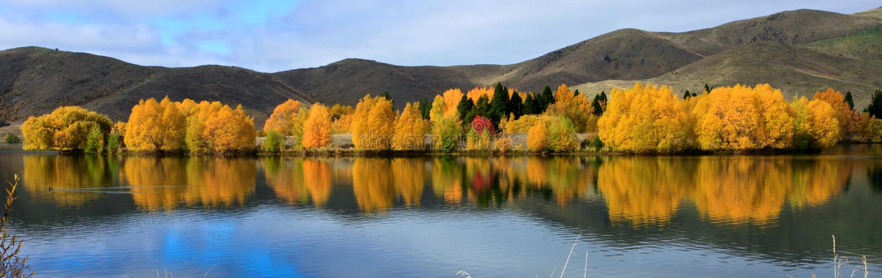 Intensiv guld- lövverk längs en lakeside nära Twizel, södra ö, Nya Zeeland royaltyfri bild