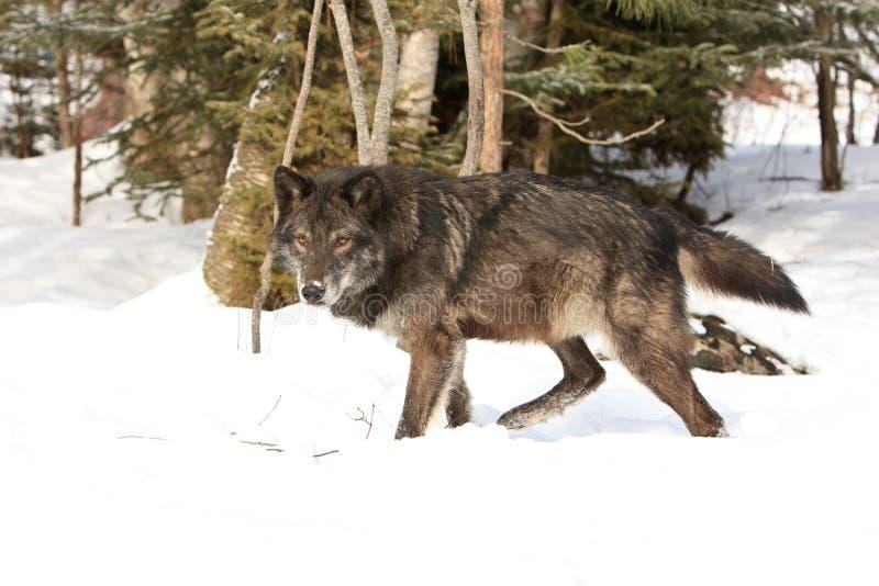 Intensive Augen des schwarzen Timberwolfs stockfotografie