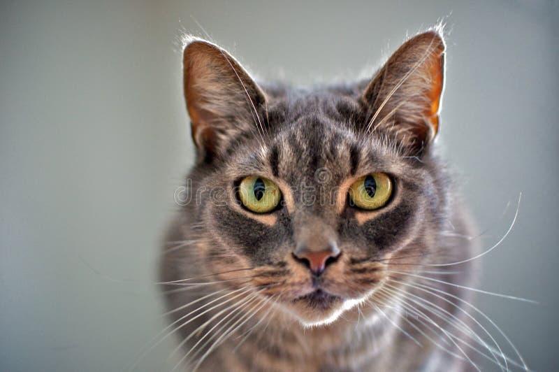 Intensive schauende Katze stockfoto