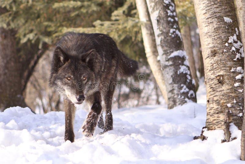 Intensive schauende schwarze Timberwolfjagd stockfotografie