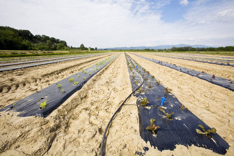 Intensive Vegtable Farming With Water Irigation Royalty Free Stock Images