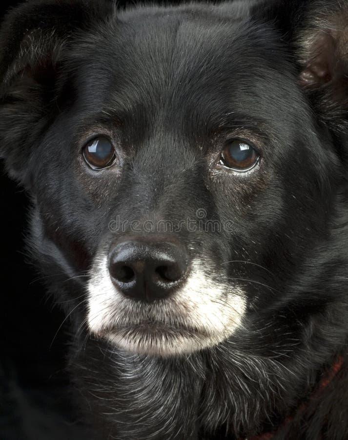 Intensiver alter Hund stockfotos