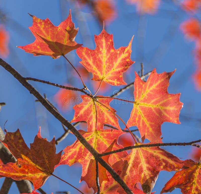 Intensiver gelb-orangeer Herbstlaub stockfoto