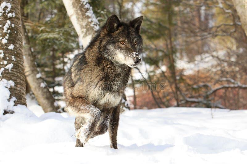 Intensiver schauender schwarzer Timberwolf lizenzfreie stockbilder