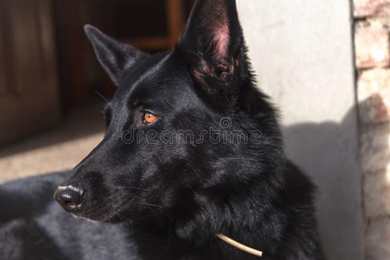 Intensives Anstarren des schwarzen Schäferhundschutzhundes stockfotografie