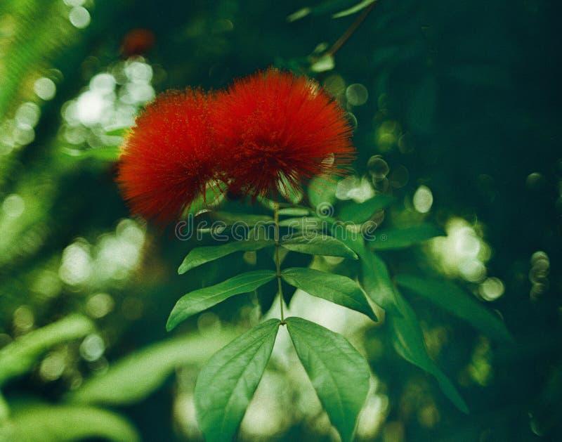 intensivt desire Förälskelse fotografering för bildbyråer
