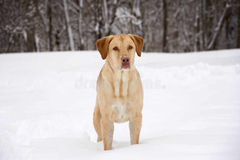 Intensywny żółty labrador obraz stock