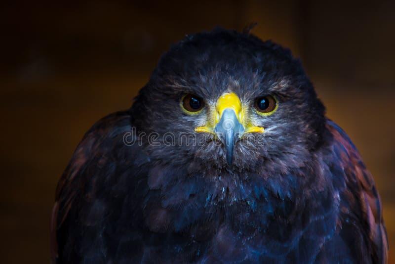 Intensywny stawiający czoło ptak drapieżny, obrazy stock