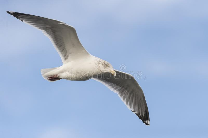 Intent Herring Gull. Herring Gull intent on scanning water for food royalty free stock photography