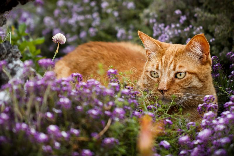 Orange tabby cat searching for prey hunting from a purple flower patch. Intent orange tabby cat searching for prey from a flower patch purple sweet alyssum and royalty free stock image