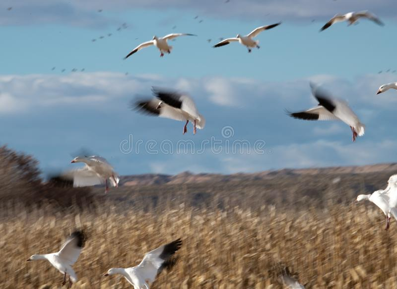Intentional slow shutter speed to blur the wings on snow geese. Snow geese coming in to a corn field, shot with a slow shutter speed for intentional blur royalty free stock photography