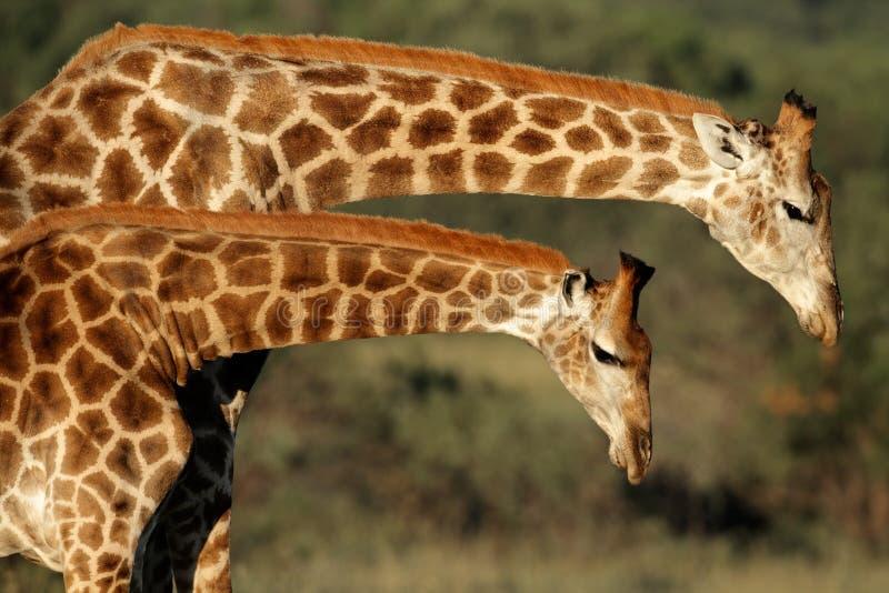 Interação do Giraffe fotografia de stock royalty free