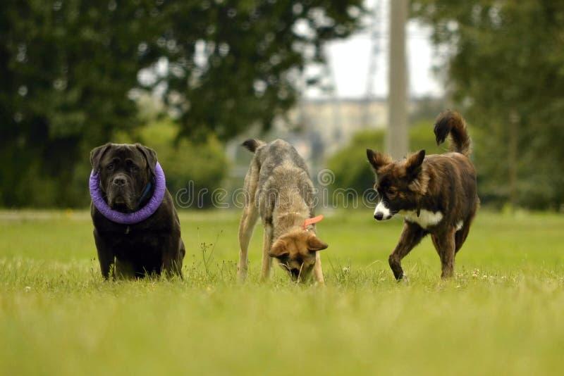 Interacción entre los perros Aspectos del comportamiento de animales Emociones de animales imágenes de archivo libres de regalías