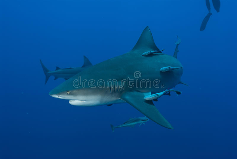 Download Interaction stock photo. Image of mozambique, bull, shots - 21741718