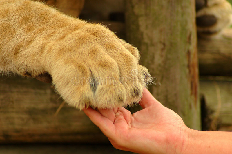 Download Interaction - Hand And Lion Paw Stock Image - Image: 2065327