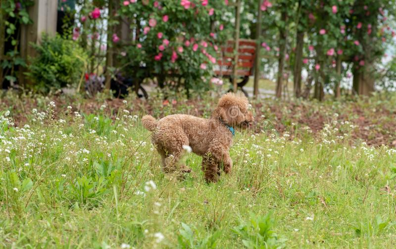 Interaction with the master-Poodle. Also known as `poodle`, also known as `curly dog`, in German, Pudel is `splash splash` meaning, is a dog subfamily canine stock photos