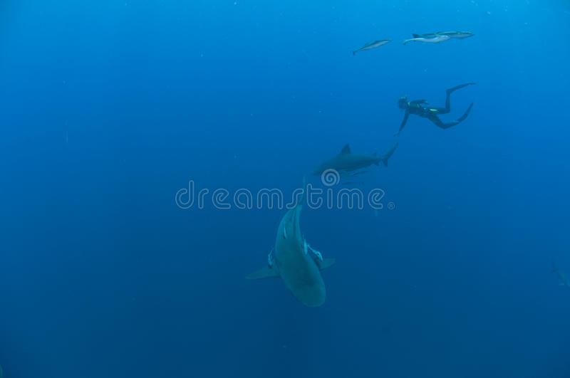 Download Interaction with sharks stock photo. Image of water, freedive - 21942402