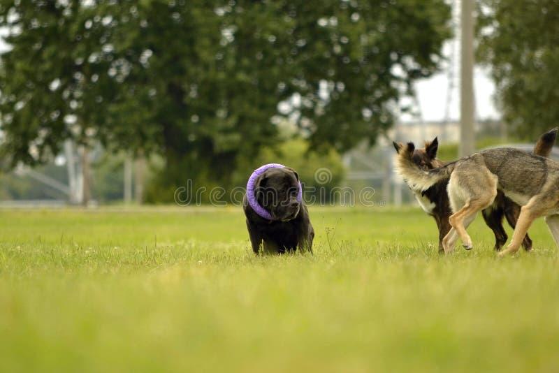 Interazione fra i cani Aspetti comportamentistici degli animali Emozioni degli animali immagini stock