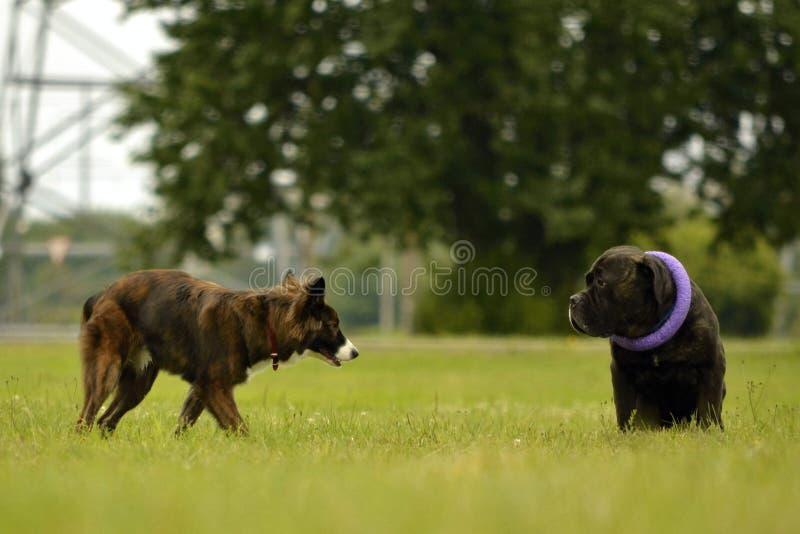 Interazione fra i cani Aspetti comportamentistici degli animali Emozioni degli animali fotografia stock