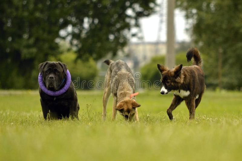 Interazione fra i cani Aspetti comportamentistici degli animali Emozioni degli animali immagini stock libere da diritti