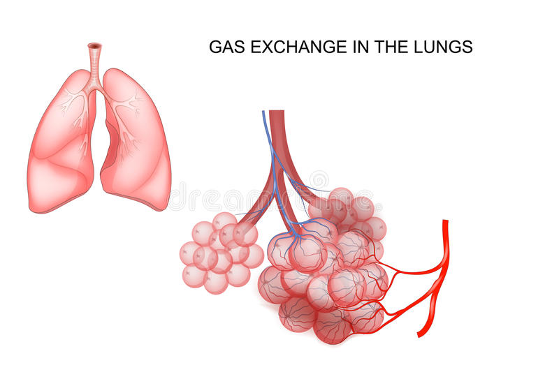 Intercambio del gas en los pulmones libre illustration