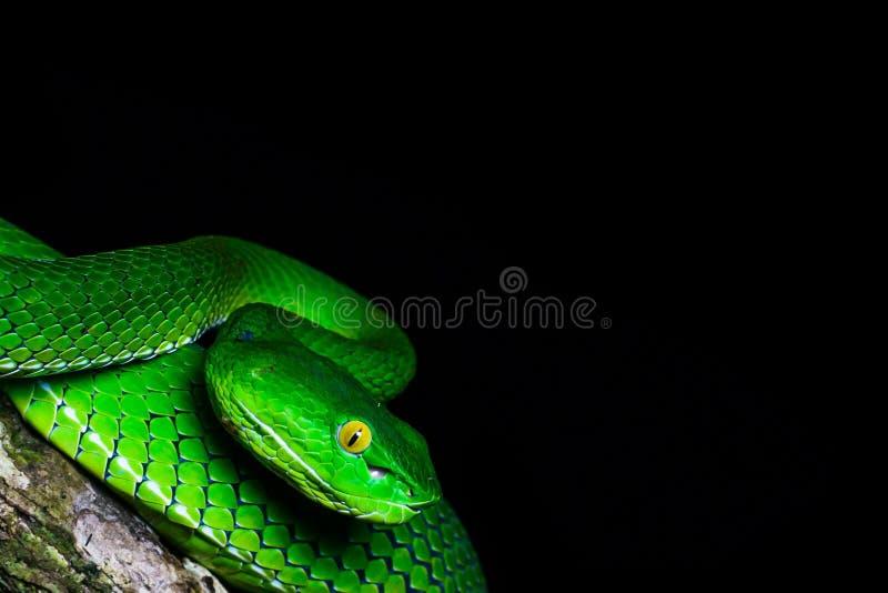 Interessant ogenblik in aard De groene slang op de omhoog dichte tak Zwarte schaduwen op de achtergrond stock foto