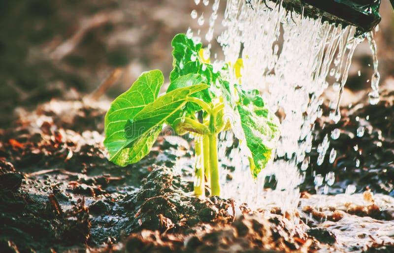 Interessieren für eine neue Lebensdauer Bewässerungsjungpflanzen Die Kind-` s Hände lizenzfreies stockfoto