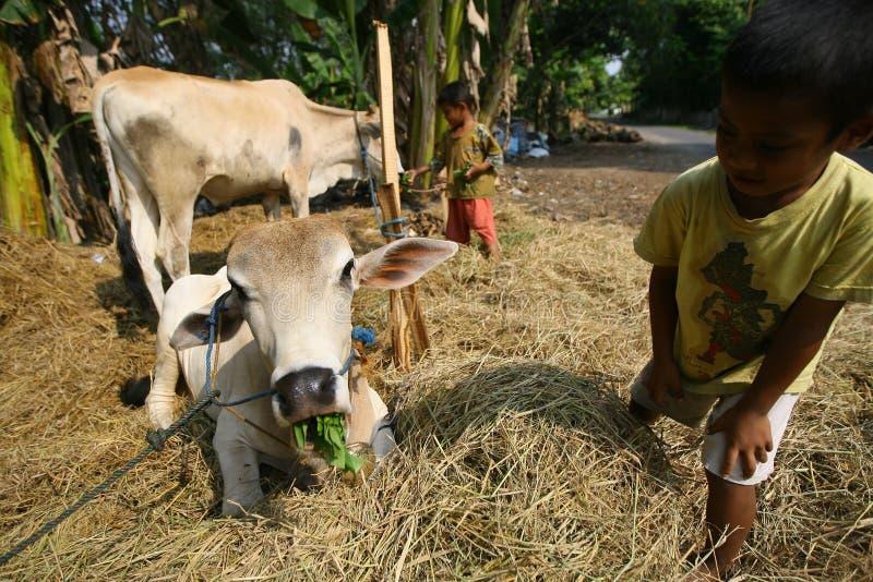 Interessieren für Kuh stockbilder