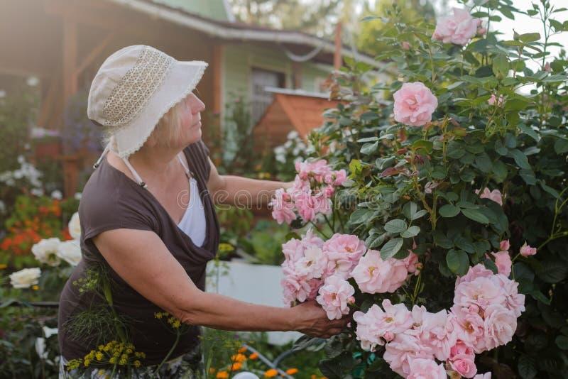 Interessierende blühende Buschrosen des aufgeregten reifen kaukasischen weiblichen Gärtners im Yard lizenzfreies stockfoto