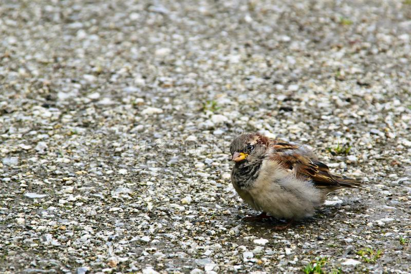 Interested disheveled sparrow. Interested look of disheveled sparrow royalty free stock photo