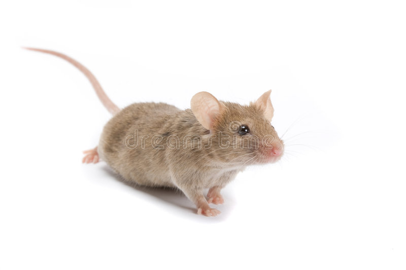 Interested mouse. stock images