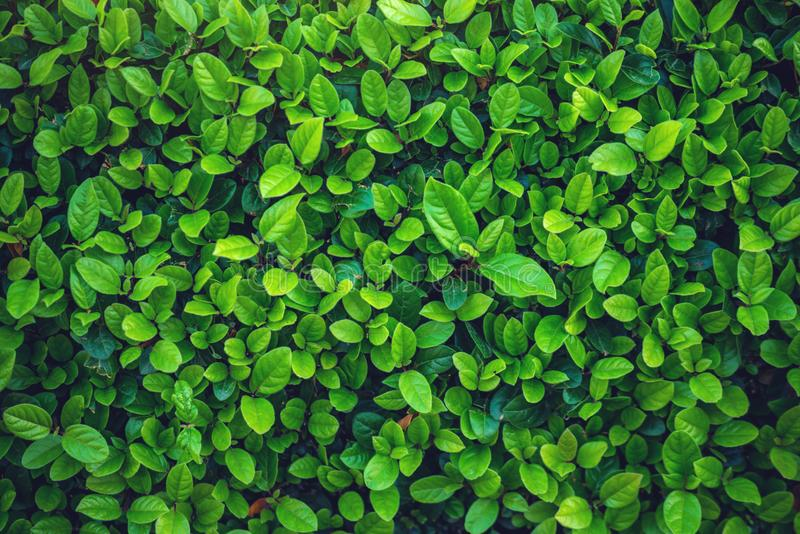 Interesting background of bright green leaves in spring with beautiful light. The concept of ecology royalty free stock images