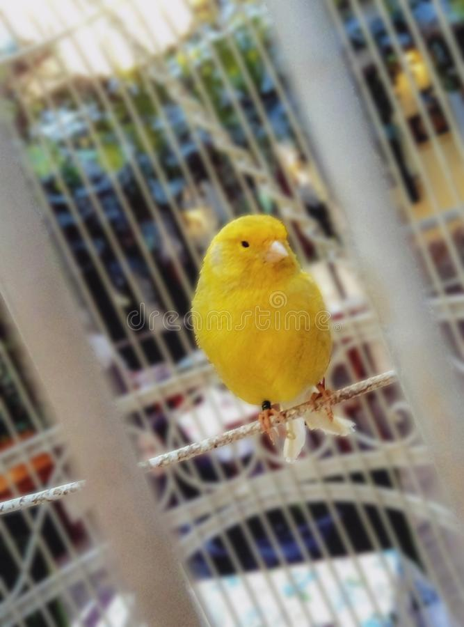 The interesting birdie. Yellow birdie in a cage close up on a background of a popular institution royalty free stock photo