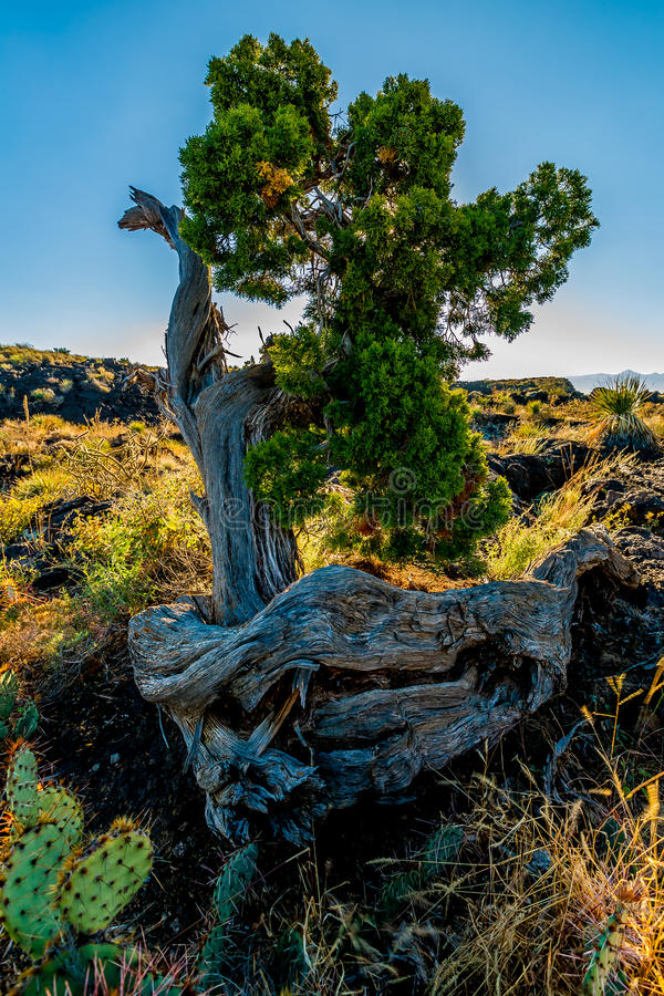 Interesting cedar tree in a lava flow in the desert of New Mexico. Beautiful Desert Landscape in the River of Fire Area in New Mexico with Cactus and Black Lava stock photos