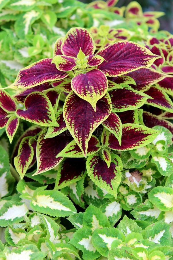 Lush, healthy leaves on green, purple, and white coleus plants with pink flowers garden royalty free stock images
