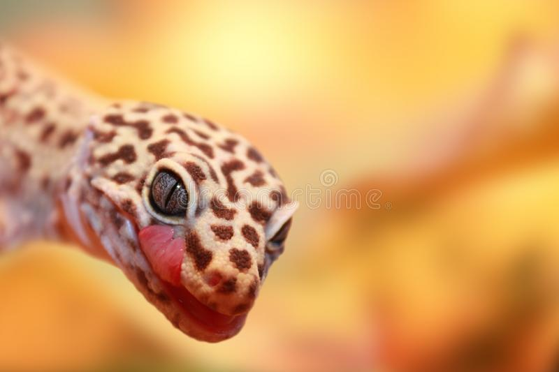 An interesting detail in nature. A beautiful colorful gecko standing on a stone and watching carefully in front of it. stock photography
