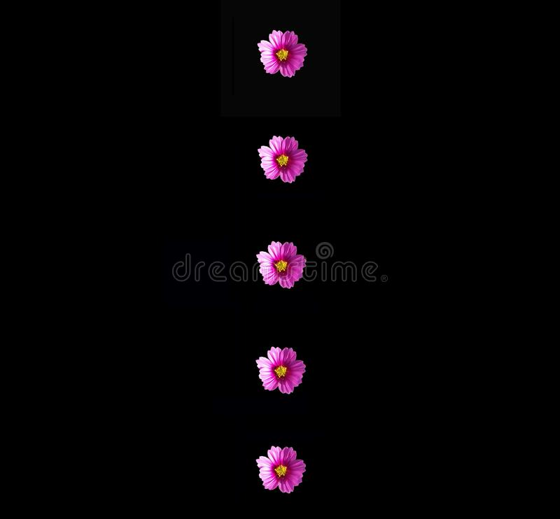 Interesting image of four purple Cosmos flowers on a dramatic black background. Four purple Cosmos flowers with yellow centers in a line down the center of a stock photo