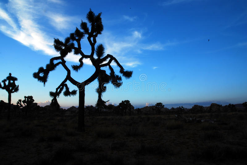 Interesting joshua tree at dusk. An interesting joshua tree at dusk in Joshua Tree National Park royalty free stock photo