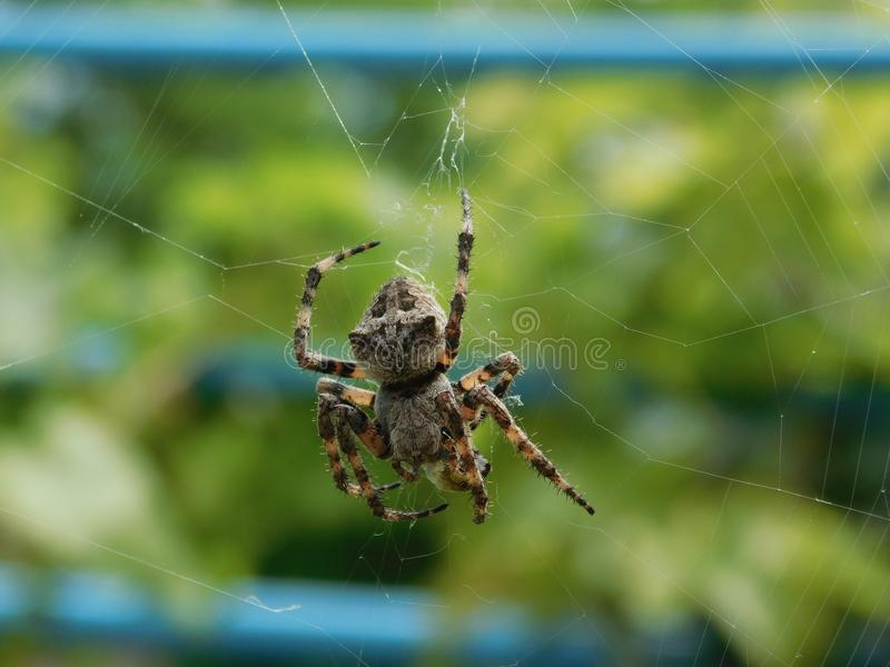 Interesting spider species. An interesting kind of spider living in the Crimea cross stock images