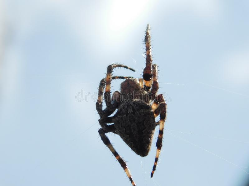 Interesting spider species. An interesting kind of spider living in the Crimea cross royalty free stock image