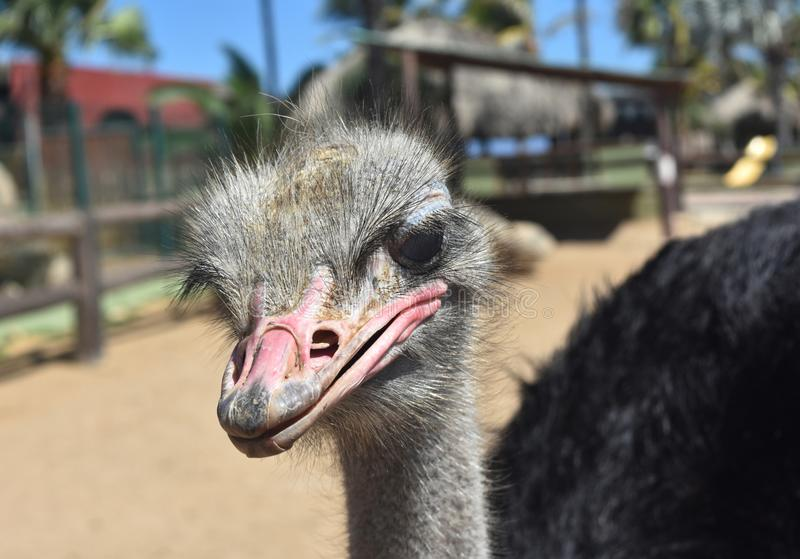 Interesting Looking Ostrich in Close-Up stock photography